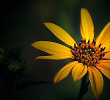 Spotlight Daisy by Rick McFadden