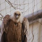 A Friendly Vulture by linhere