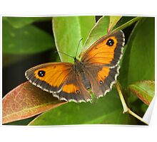 The Gatekeeper (Pyronia tithonus) Poster