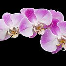 Orchids in the Rain by Ann Garrett