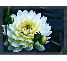 Dahlia in the dark Photographic Print