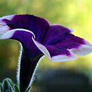 Morning Glory! by PatChristensen