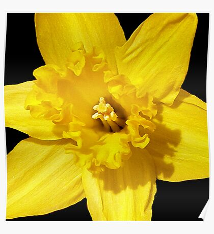 Daffodil in Bloom Poster