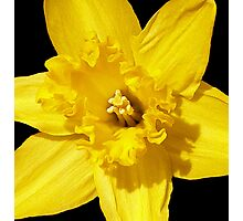 Daffodil in Bloom Photographic Print
