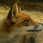 Red Fox by Hovis