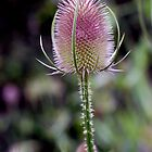 Lonely Llanerchaeron Teasel by Rebecca Eldridge