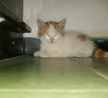 Cute Turkish Van by felinefriends