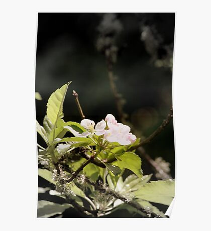 apple blossoms 9 Poster