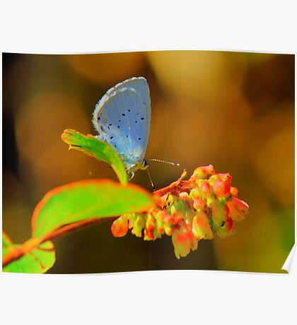 Holly Blue Butterfly, Baydale Beck, County Durham,England Poster
