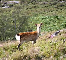 Fallow Deer, Lyme of Gorthleck, Nr Inverness by Jonathan McColl