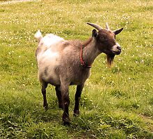 Fort Augustus Goat by Jonathan McColl