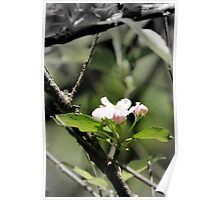 apple blossoms 10 Poster
