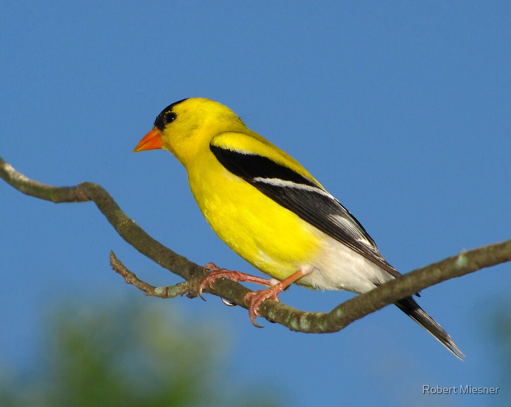 Bright Golden Sun (American Goldfinch) by Robert Miesner
