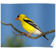 Bright Golden Sun (American Goldfinch) Poster