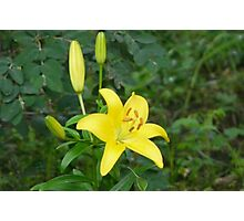Yellow Lily, Photographic Print