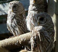 Three Barred Owls by paranoidpanic