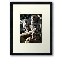 Three Barred Owls Framed Print