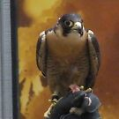 Egyptian Peregrine Falcon by Kay Hale