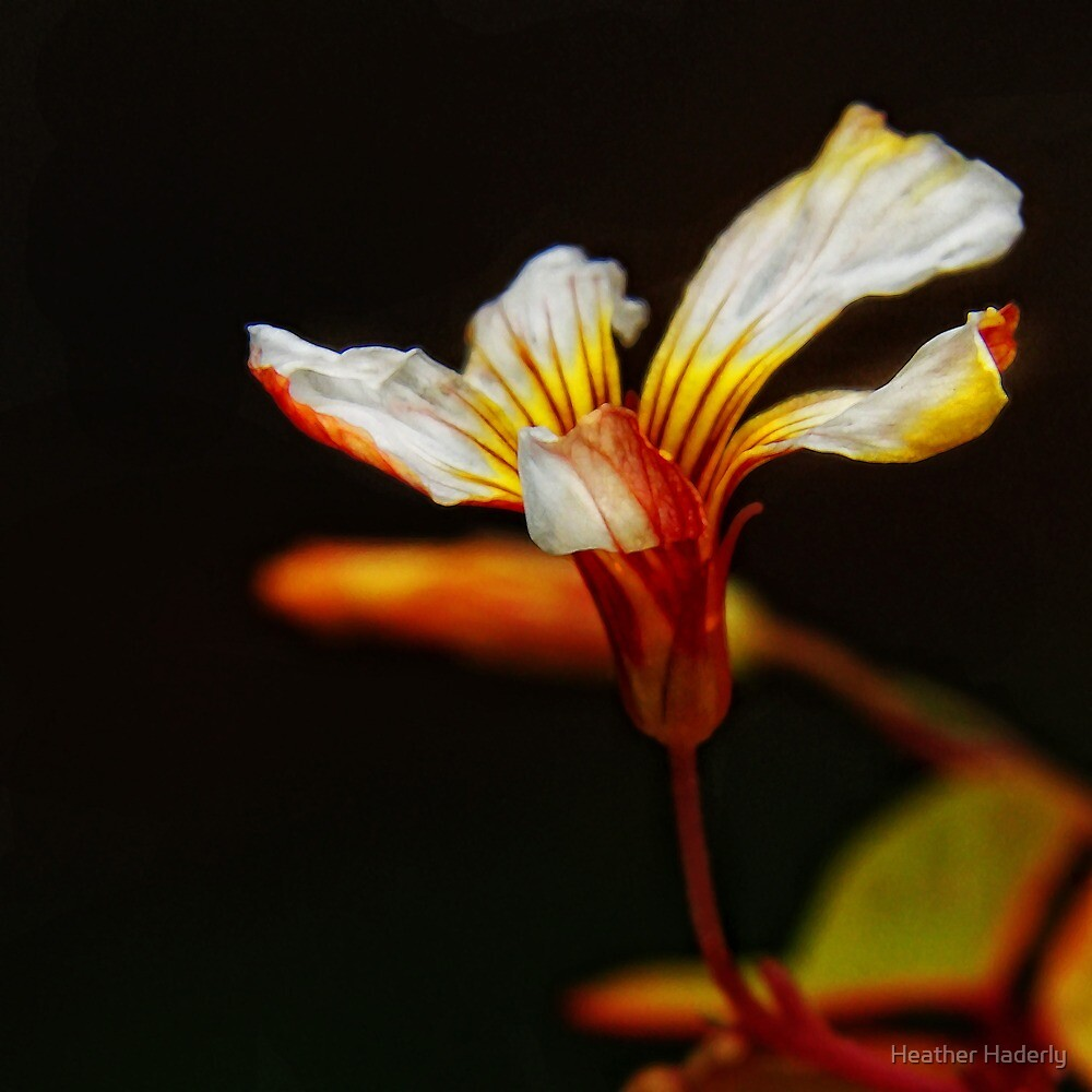 Oxalis blossom by Heather Haderly
