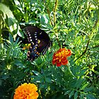 Black Swallowtail Butterfly by Susan S. Kline