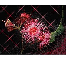 """Red Gum Blossom's"" Photographic Print"