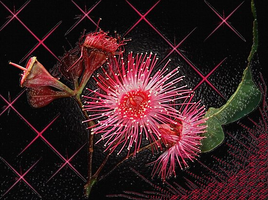 """""""Red Gum Blossom's"""" by debsphotos"""