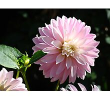Dahlia Flower Garden art prints Pink Dahlias Floral Photographic Print