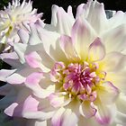 White Dahlia Flowers Garden Pink Floral art prints by BasleeArtPrints