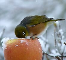 I Know There's got to be Fruit In Here!!! - Silvereye - NZ by AndreaEL