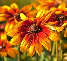 Rudbeckia! by Briar Richard