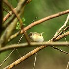 Willow Warbler by VoluntaryRanger