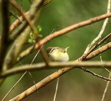 Willow Warbler by Jamie  Green