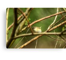 Willow Warbler Canvas Print