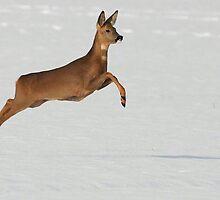 Roe Deer by rhallam
