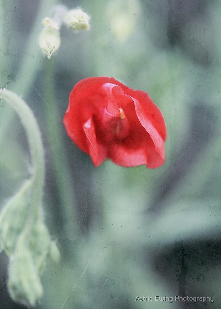 Red Sweet Pea by Astrid Ewing Photography