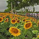 Sunflowers by procycleimages