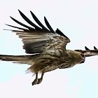 Whistling Kite by David  Symons