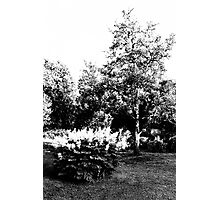 The Pear Tree. A Bush. Photographic Print