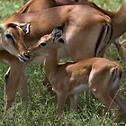 Young Impala And Its Mother by Michael Kilpatrick