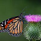 Monarch Butterfly by Jim Cumming