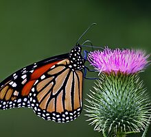 Monarch Butterfly by Jim Cumming