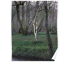 Birch and Daffodil - Llan Valley Poster