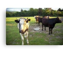 Cows in Llanfairfechan. Canvas Print