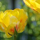 Yellow Tulip by Aase