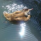 A Brown Duck with an Itchy Ear by Chris1249