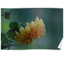 Yellow - orange dahlia with natural background Poster