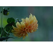 Yellow - orange dahlia with natural background Photographic Print