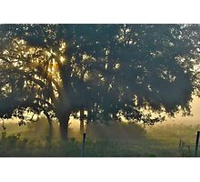 Cypress Fog Photographic Print