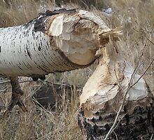 beaver tree by Christine Ford