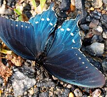 Blue butterfly by ♥⊱ B. Randi Bailey